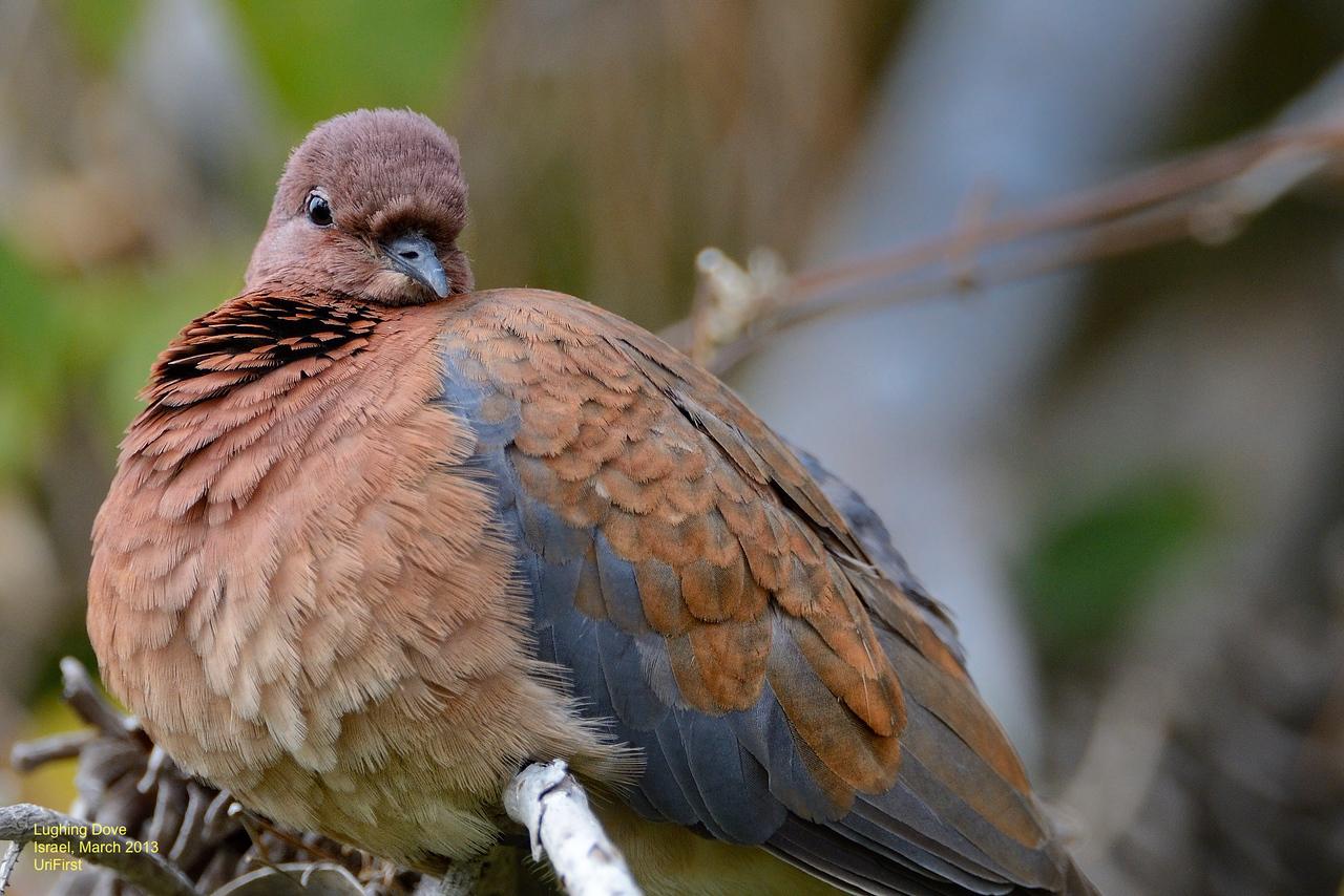 Lughing Dove