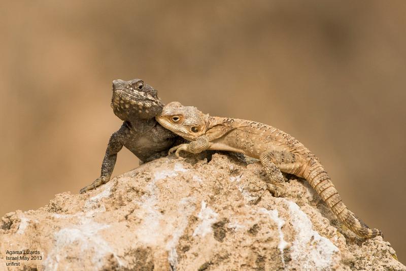 Agama Lizards
