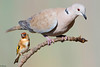 Goldfinch and Collared Dove