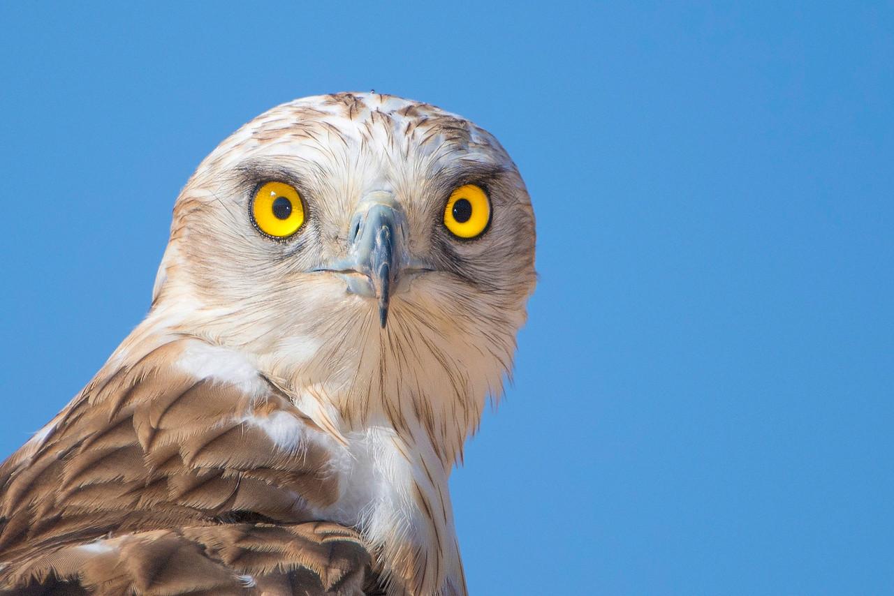 Short-toed Eagle חיוואי