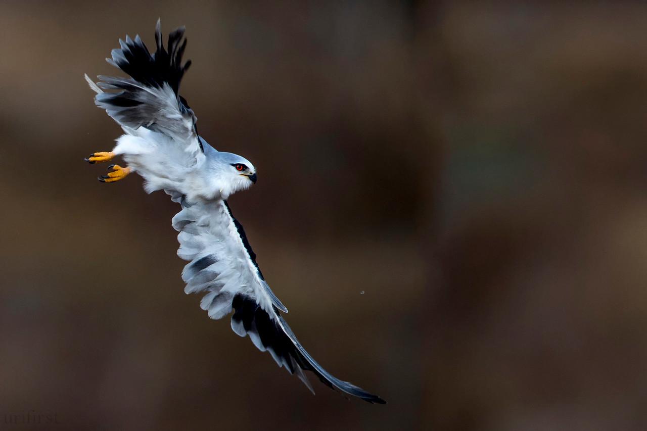 Black-winged Kite  דאה שחורת כתף