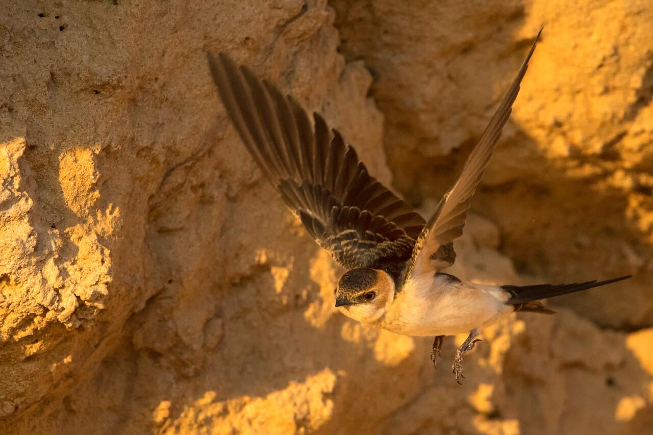 Barn Swallow סנונית