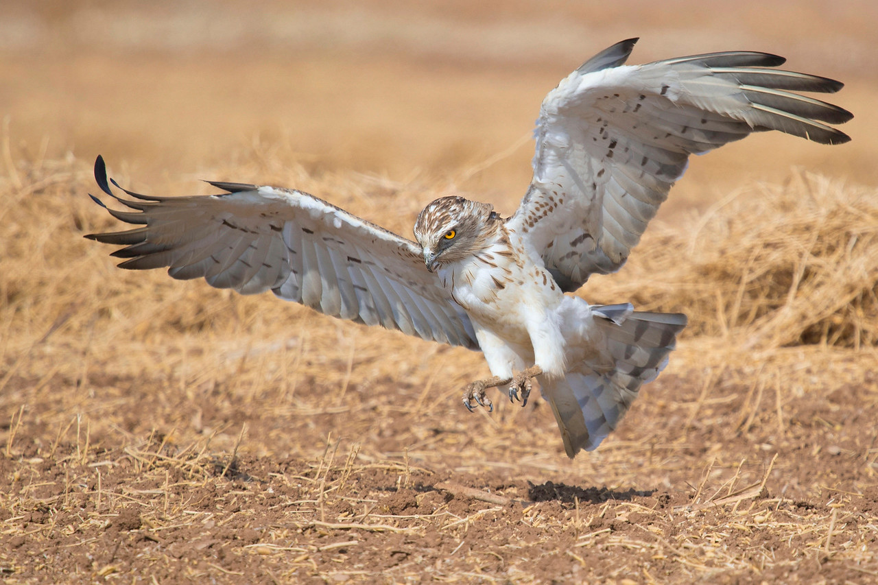 Short-toed Eagle חיוואי