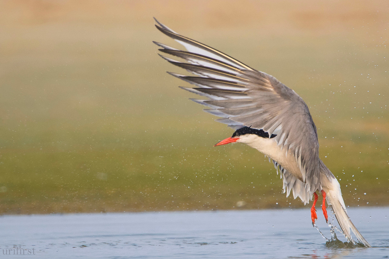 Common Tern שחפית