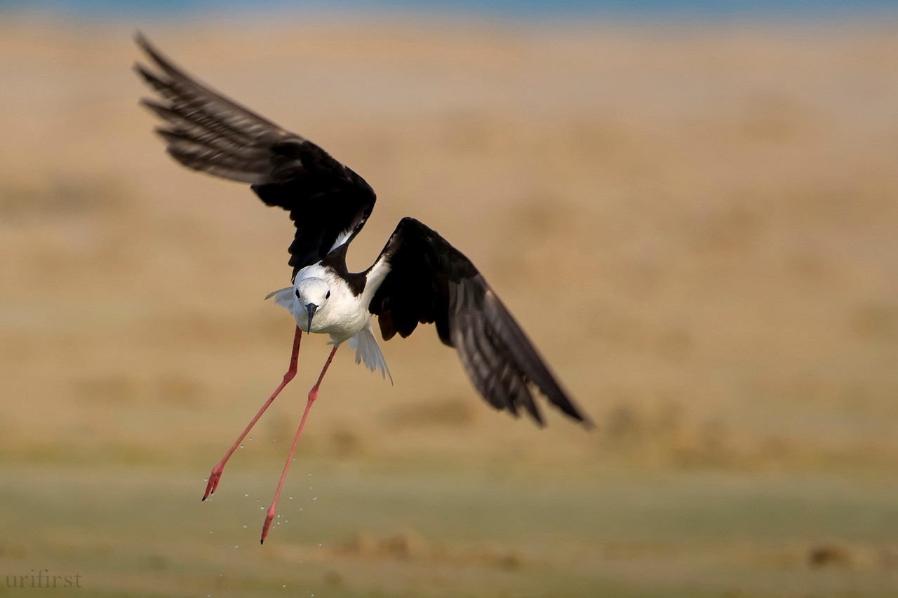 Black-winged Stilt תמירון