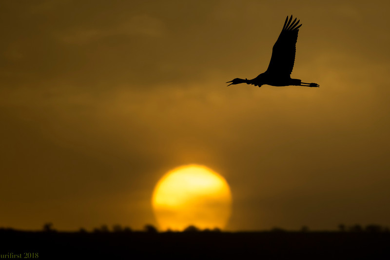 Crane עגור