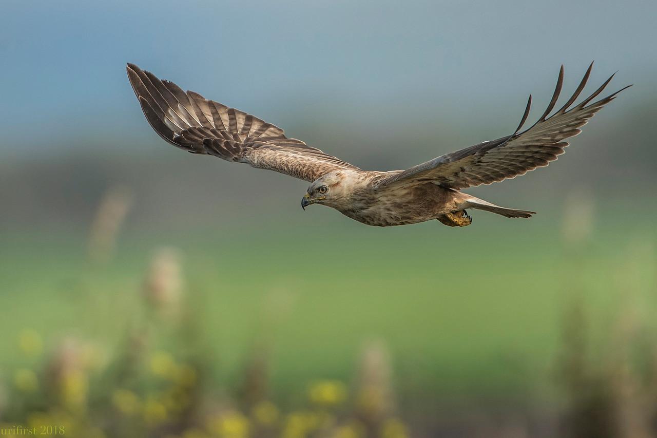 Common Buzzard עקב חורף