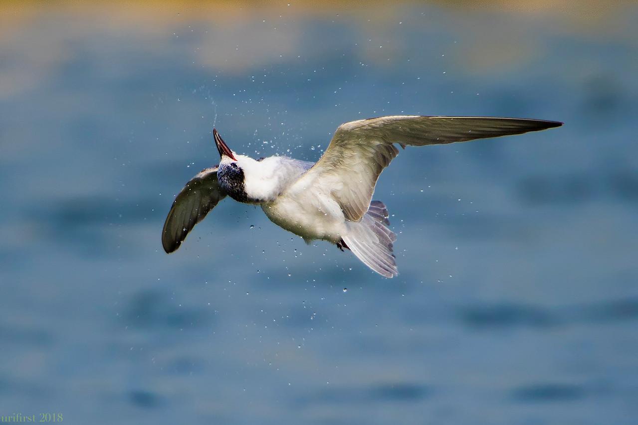 Whiskered Tern מרומית