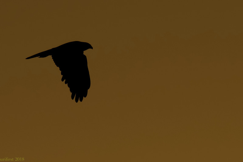 Marsh Harrier זרון