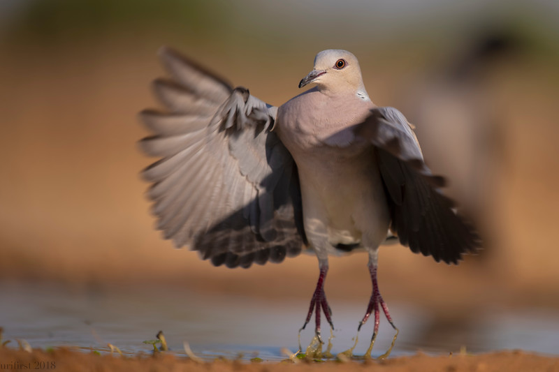 Turtle Dove תור מצוי