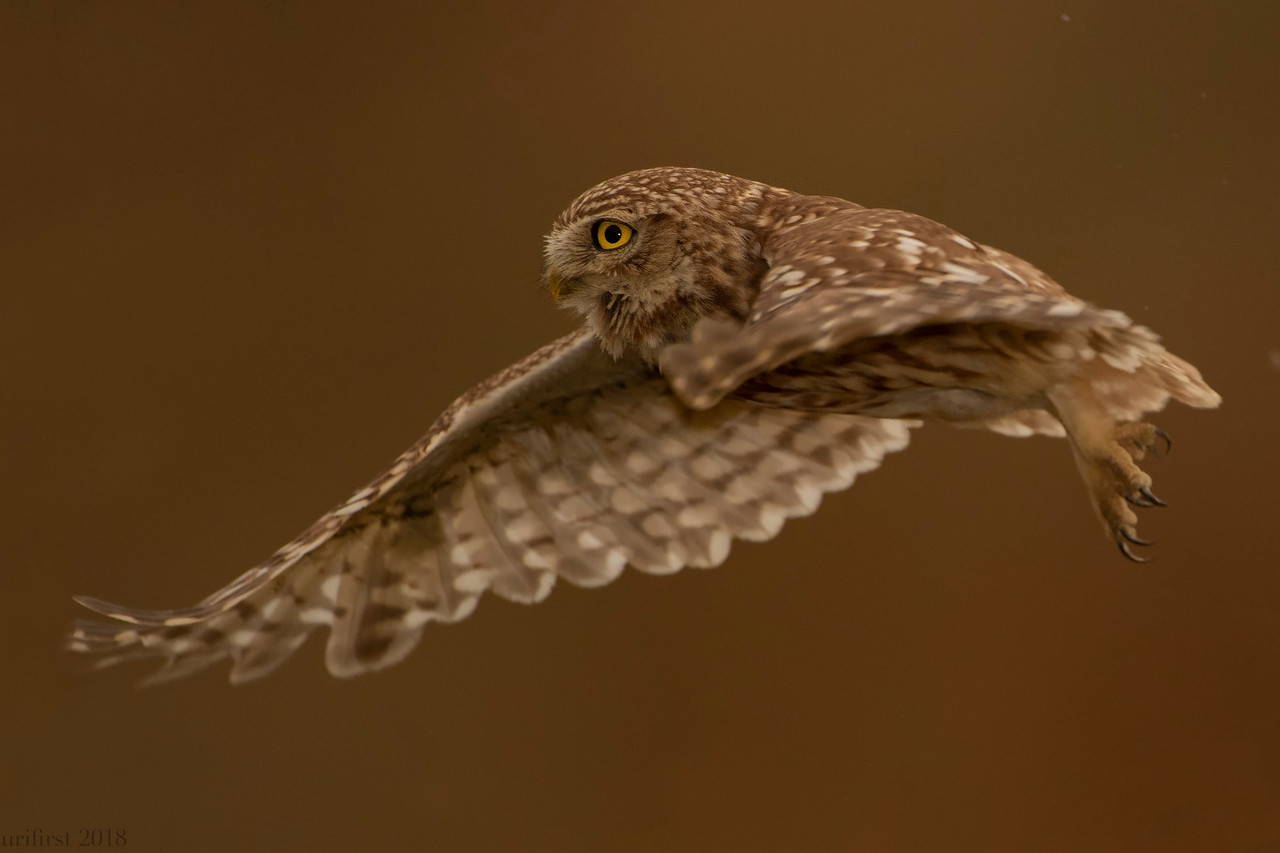 Little Owl כוס