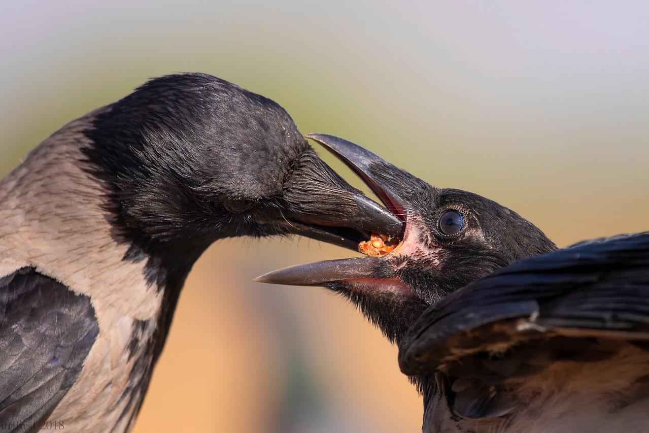 Hooded Crow  עורבים