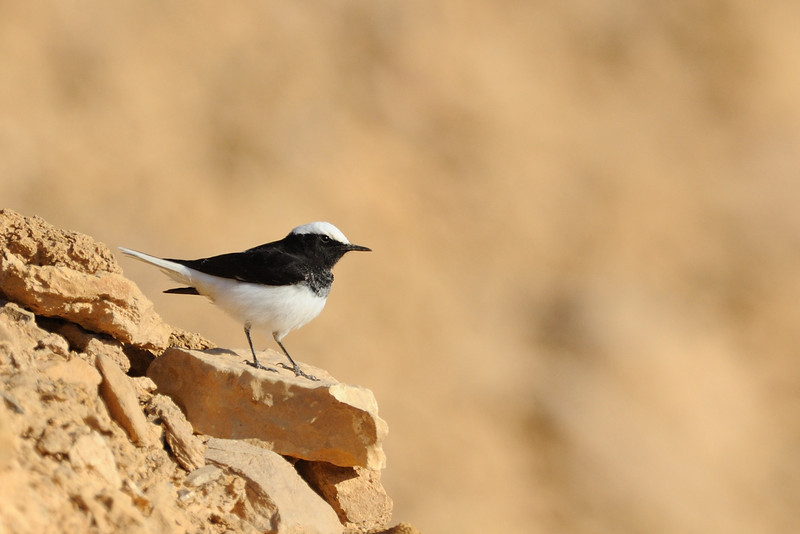 Hooded Wheatear at Ramon crater