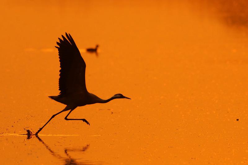 Crane in Hachula