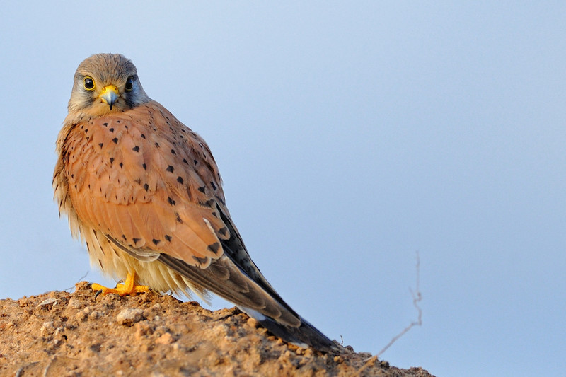 Kestrel near Herzlia beach