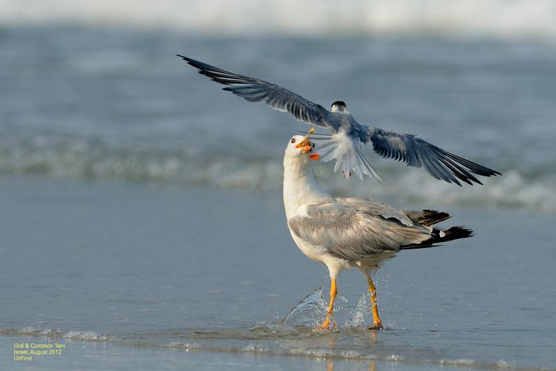 שחפית ושחף בחוף מעגן מיכאל