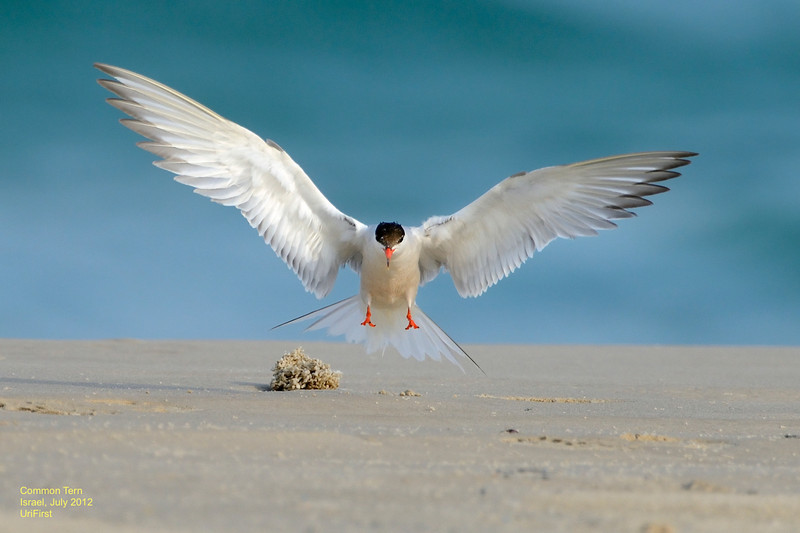 שחפית בחוף מעגן מיכאל