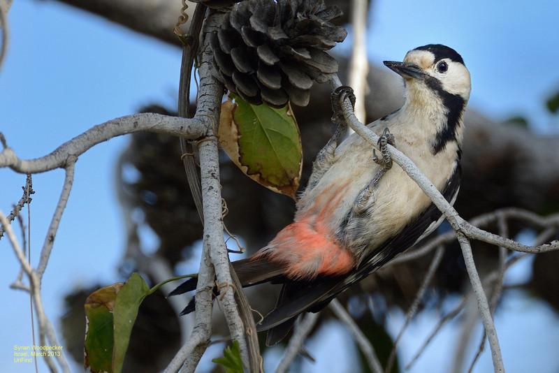Syrian Woodpecker