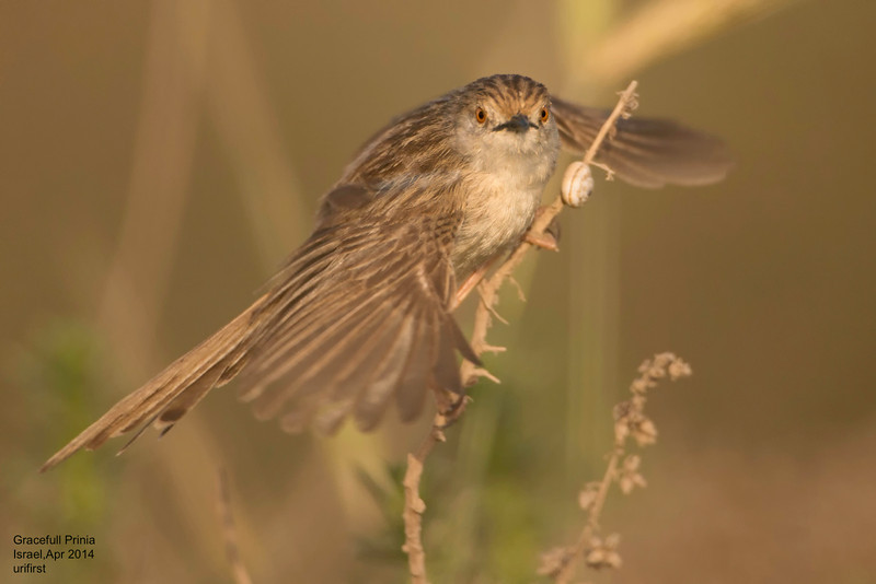 Gracefull Prinia