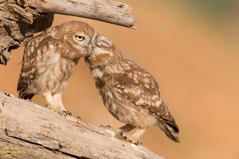 Little Owls