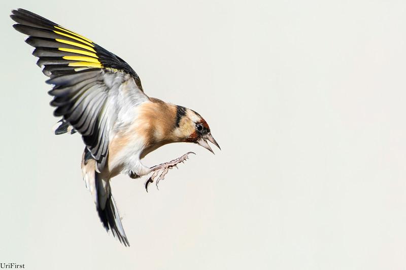 Goldfinche