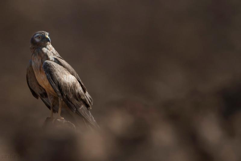 Pallid Harrier זרון שדות