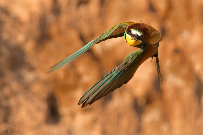 Bee-eater שרקרק