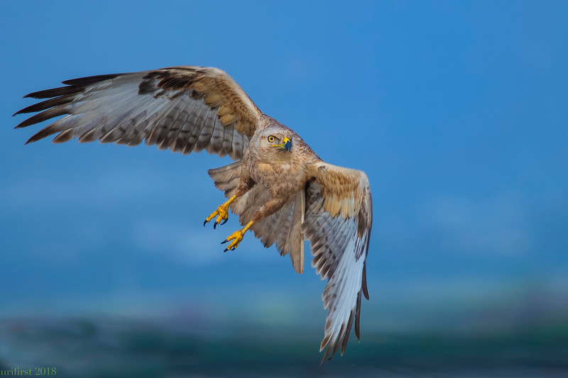 Common Buzzard עקב חורף
