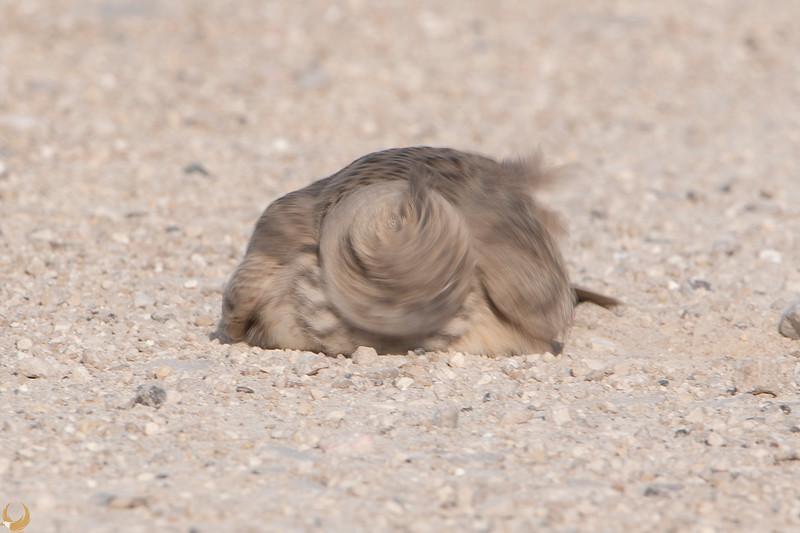 Crested Lark    עפרוני מצוייץ