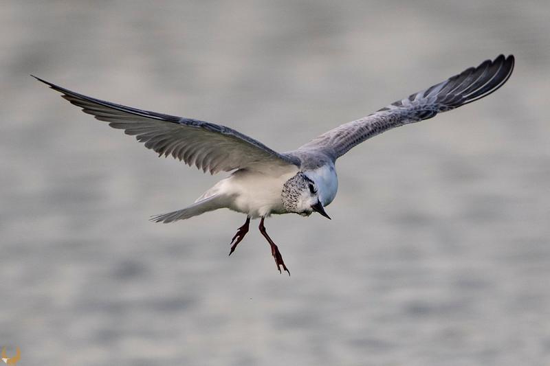 Whiskered Tern  מירומית