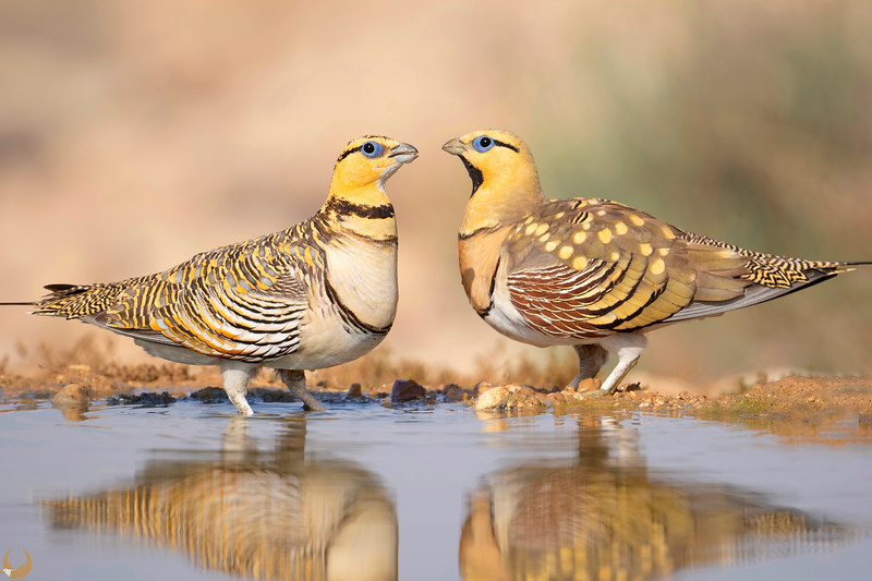 Pin-tailed Sandgrouses