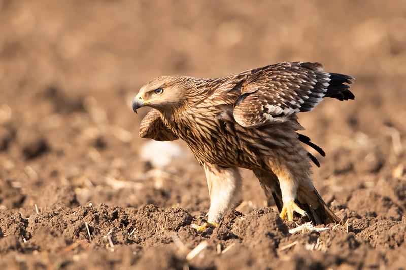 imperial Eagle עיט שמש