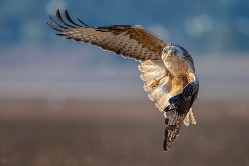 Long-legged Buzzard עקב עיטי