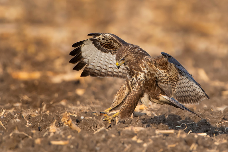 Long-legged Buzzard עקב חורף