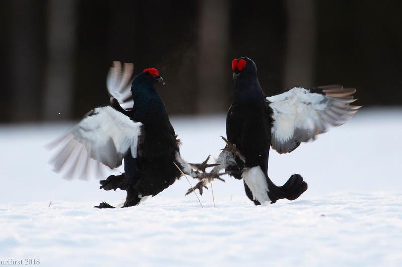 Black Grouses