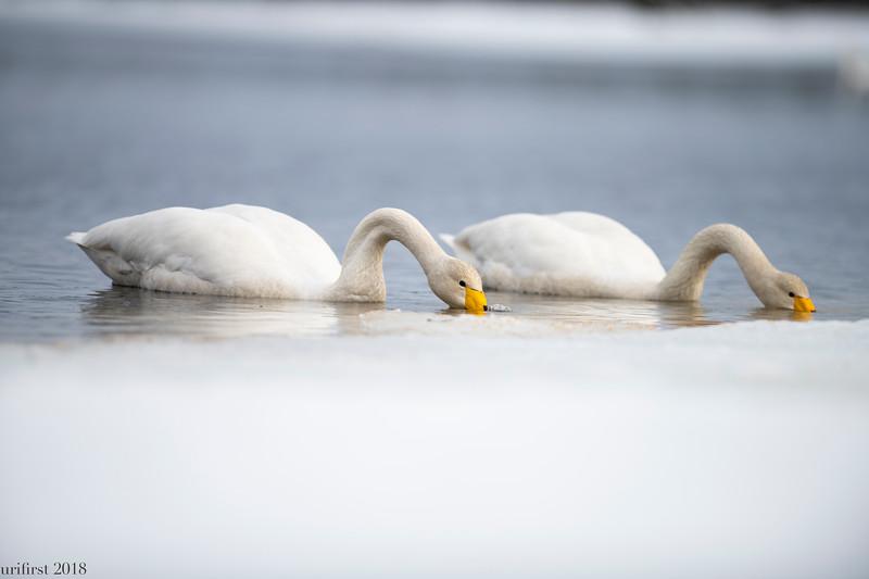 Wooper Swans