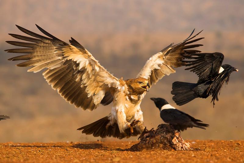 Towny Eagle