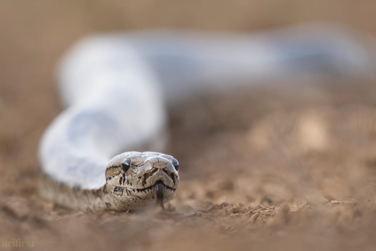 African Rock Python