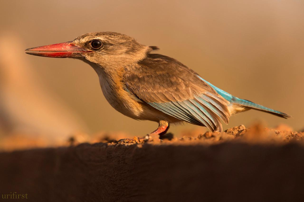 Browen-hooded Kingfisher