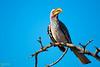 Yellw -billed Hornbill