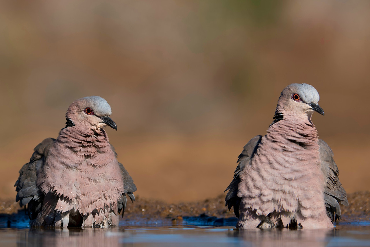 Red-eyed Doves