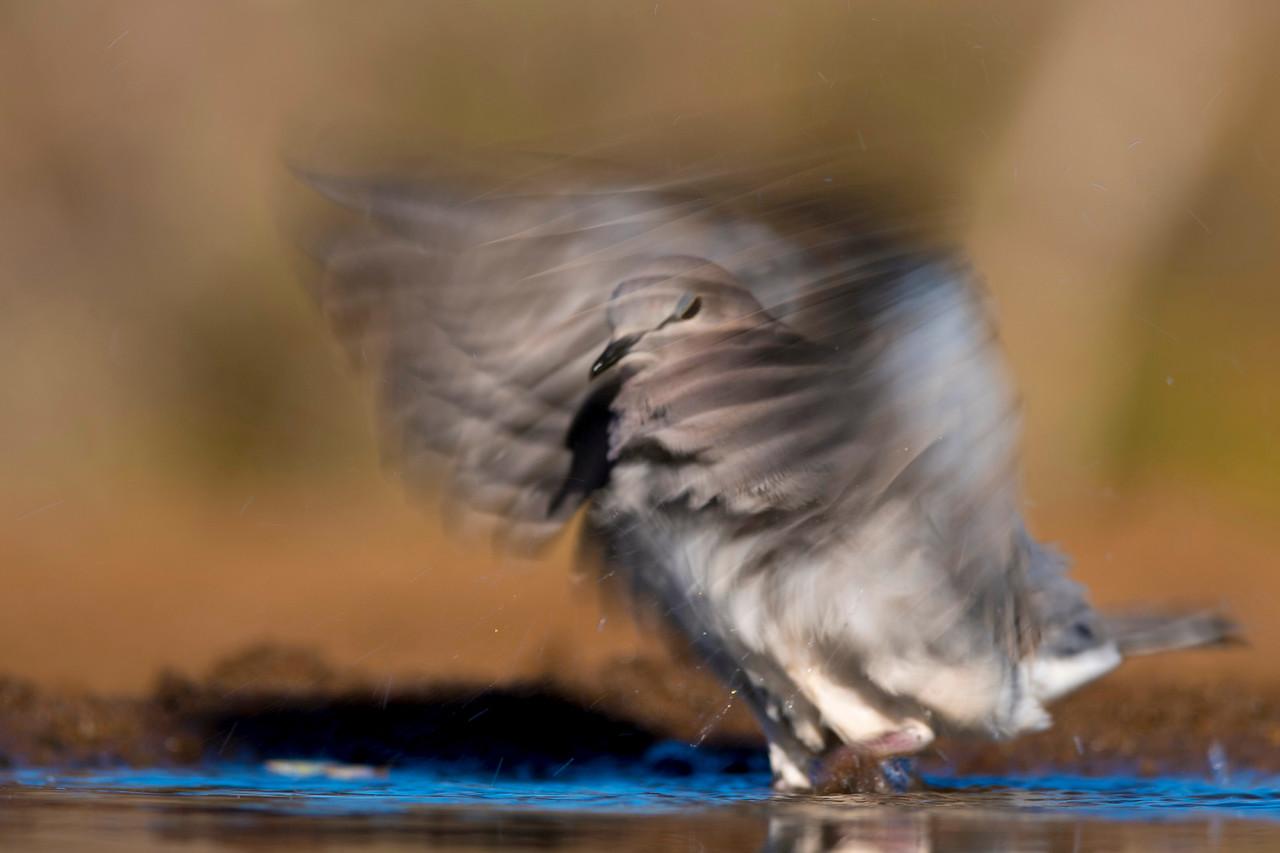 Cape Turtle-Dove