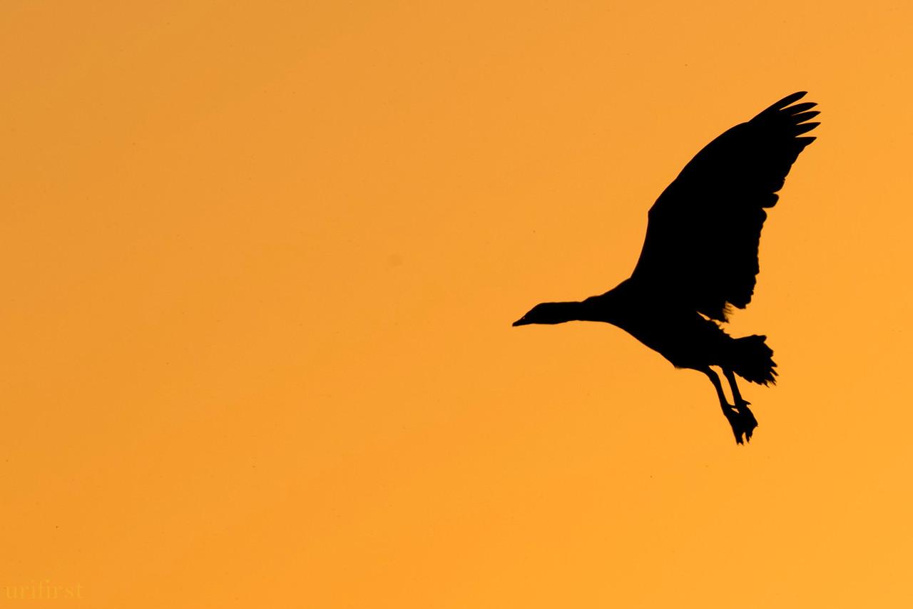 Egiyptian Goose