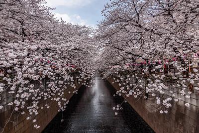 Framed by Blossoms    Nakameguro