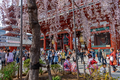 Under the Cherry Tree    Asakusa