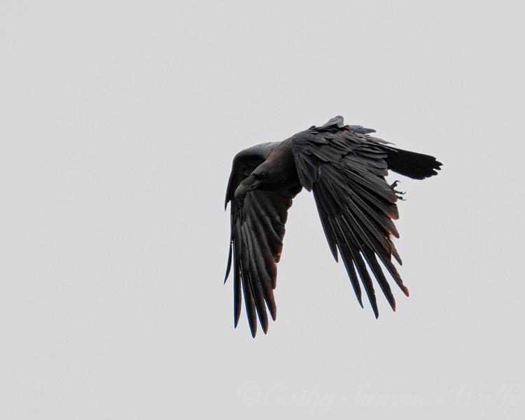 flying_raven_DSC9424