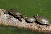 Turtles, Belmar Park, Lakewood, Colorado.  September 2015