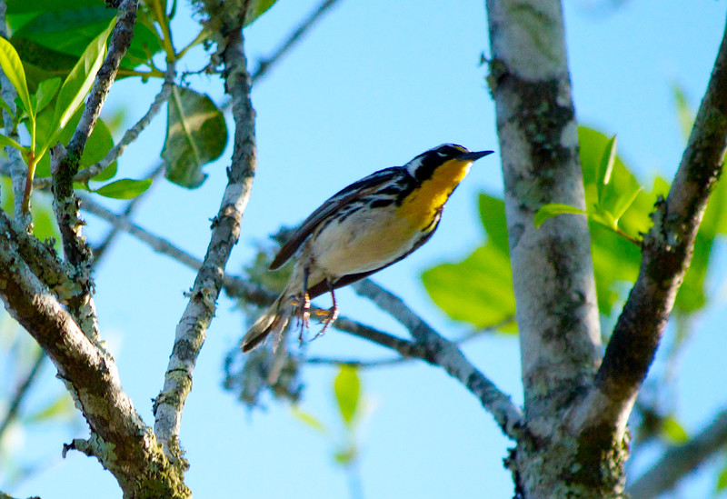 The Yellow-Throated Warbler just as he was about to fly away