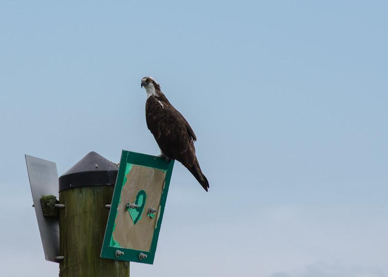 Osprey on a channel marker