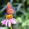 Butterfly on an Echinacea Flower